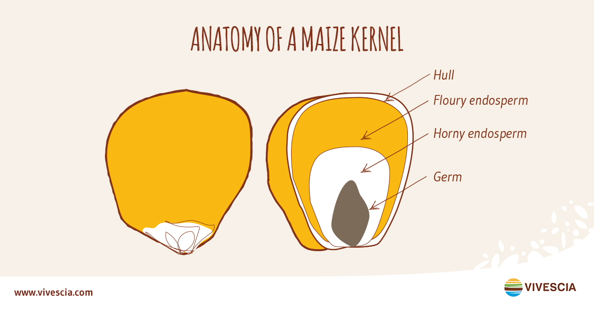 Anatomy of a maize kernel